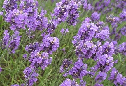 LavenderFlowers.jpg